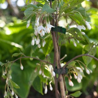 Styrax japonica 'Fragrant Fountain'