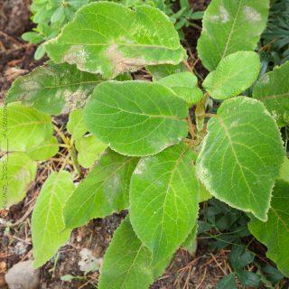Hydrangea aspera ssp. sargentiana - sammetshortensia