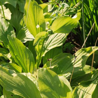 Hosta plantaginea 'Royal Standard'