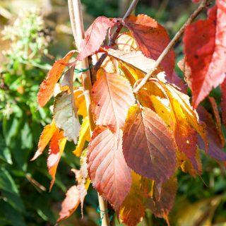 Prunus sargentii - bergskörsbär