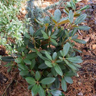 Rhododendron Yaushimanum-gruppen 'Silberwolke'