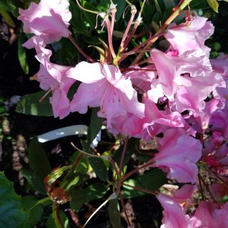 Rhododendron auriculatum 'Roseum'