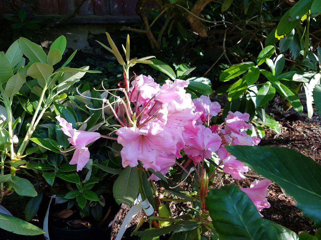 Växthärdighet - Rhododendron auriculatum 'Roseum'