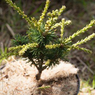 Pinus parviflora 'Adcock's Dwarf' - silvertall