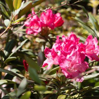 Yakushimanum-gruppen - Rhododendron Yakushimanum-gruppen 'Sneezy'