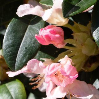 Rhododendron Yakushimanum-grp 'Percy Wiseman'