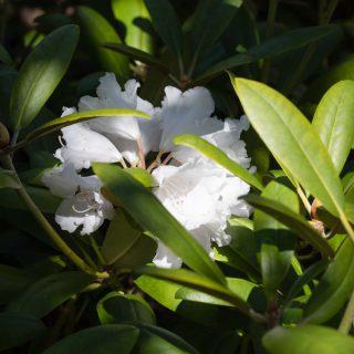 Rhododendron Yakushimanum-grp 'Falling Snow'