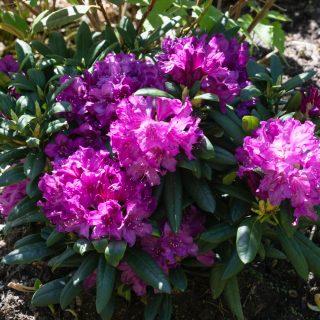Rhododendron 'Bohlken's Lupinberg Laguna'