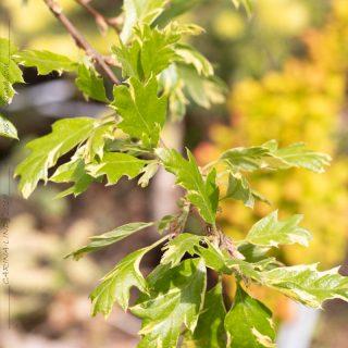 Quercus cerris 'Argenteovariegata' - turkisk ek
