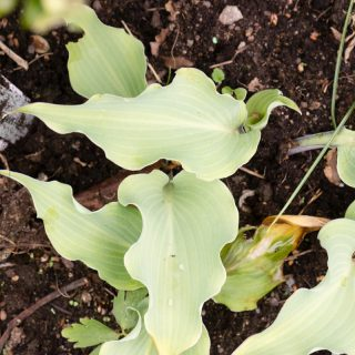 Hosta 'Skywriter'