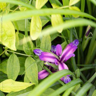 Iris graminea - gräsiris