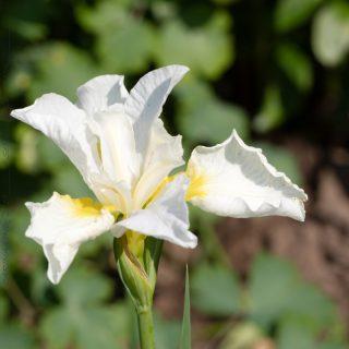 Iris sibirica 'First Frost'