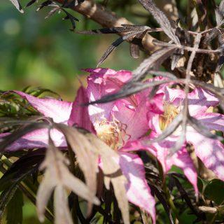 klätterväxter - Clematis 'Tae', tidiga storblommiga-grp
