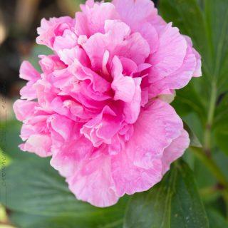 Paeonia hybr. 'Carnation Boquet' - hybridpion