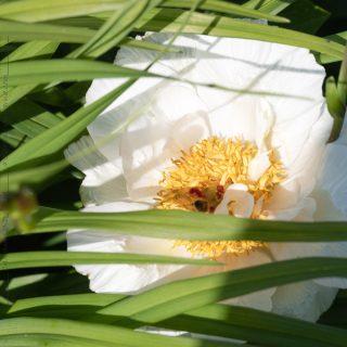 Paeonia 'Snow Angel'