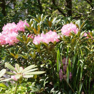 Yakushimanum-gruppen - hododendron Yakushimanum-grp 'Kalinka'