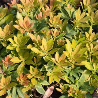 Pieris japonica 'Debutante'
