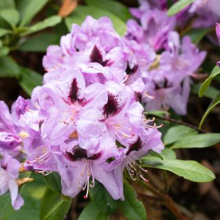 Rhododendron 'Metallica'