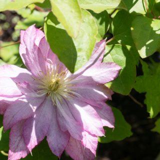 klätterväxter - Clematis 'Asao'