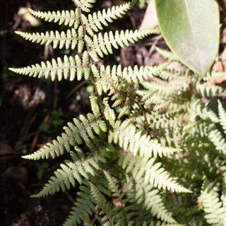 ormbunkar - Athyrium niponicum 'Ghost'