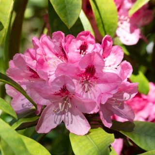 Rhododendron 'Lady Eleanor Cathcart'