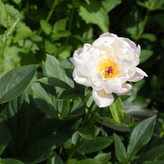 Paeonia 'Petite Elegance'
