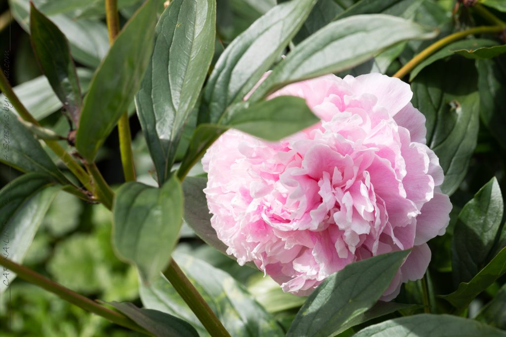 Mormorsväxterna - Paeonia lactiflora 'Sarah Bernhardt' - luktpion