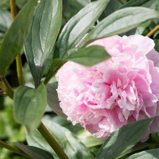 Paeonia lactiflora 'Sarah Bernhardt' - luktpion