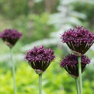 Allium atropurpureum - vinlök