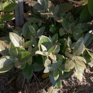 Rhododendronarter V-Y - Rhododendron wasonii Yellow