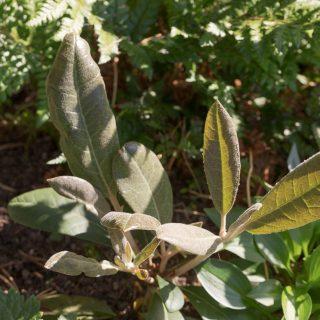 Rhododendron 'Gustav Mellquist' x macabeanum