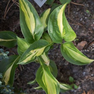 Hosta 'Broad Street'
