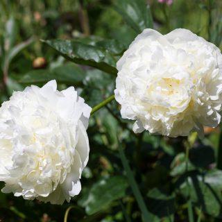 Dofter - Paeonia lactiflora 'Marie Lemoine'