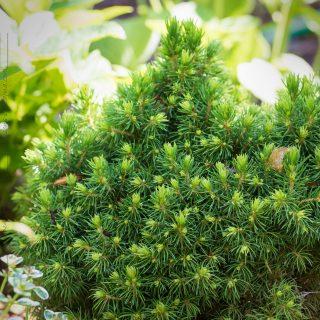Barr - Picea glauca 'Alberta's Globe' - vitgran