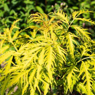 Sambucus racemosa 'Southerland Gold'