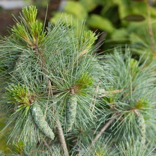 Barr - Pinus strobus 'Connecticut Slate', weymouthtall