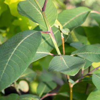 Salix magnifica - praktvide