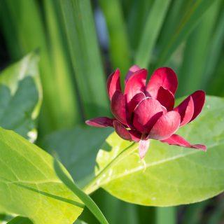 kryddbuske - Calycanthus 'Aphrodite''