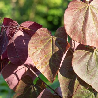 Cercis 'Forest Pansy' - judasträd