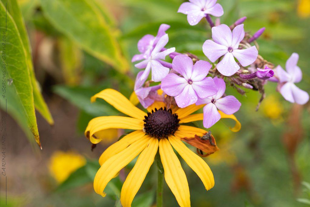 Mormorsväxterna - phlox och rudbeckia