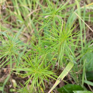 Amsonia hubrechtii - arkansas-amsonia