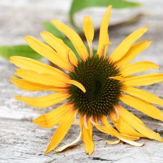 Echinacea 'Funky Yellow'