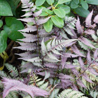 ormbunkar - Athyrium niponicum 'Burgundy Lace'