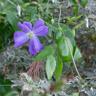 Clematis viticella 'Jenny', viticella-klematis