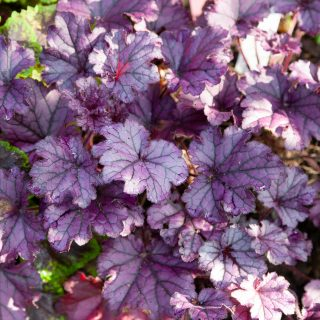 Heuchera 'Forever Purple' - alunrot