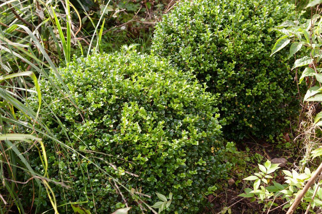 Buxus sempervirens 'Wrams Gunnarstorp'