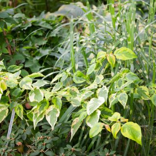 Cornus alternifolia 'Golden Shadows' - kranskornell