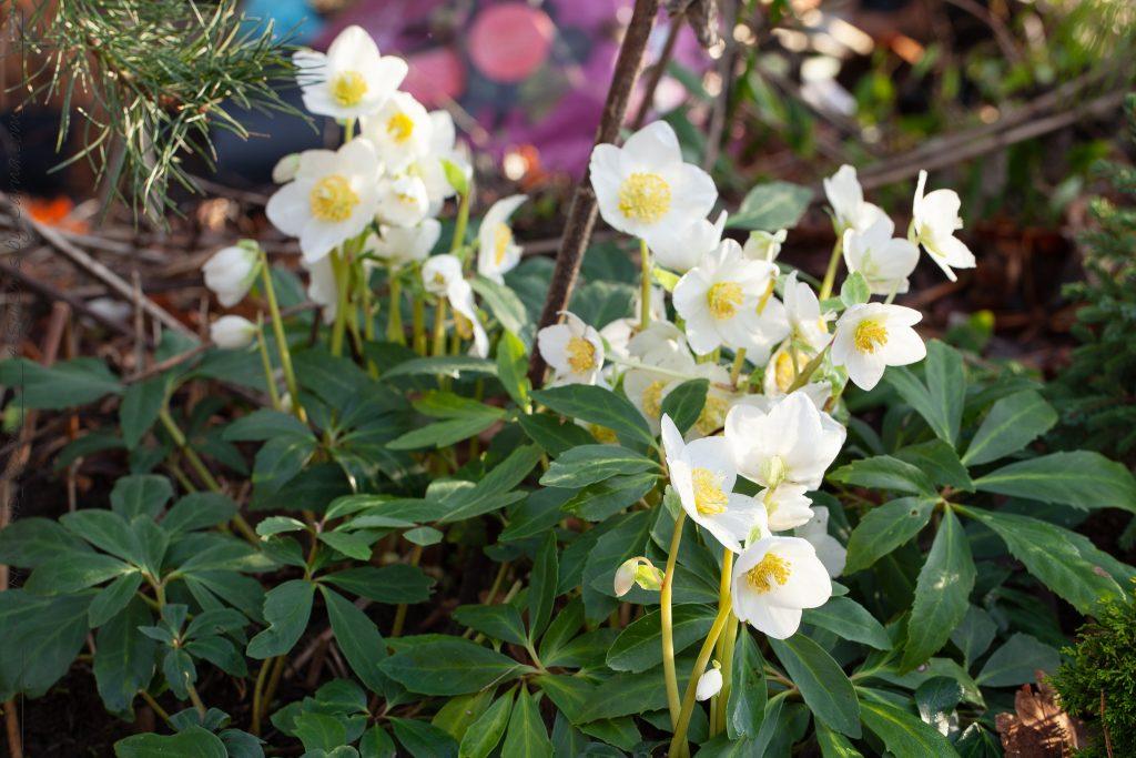 Trädgårdsväxternas hej - Helleborus niger 'Jesko' - julros