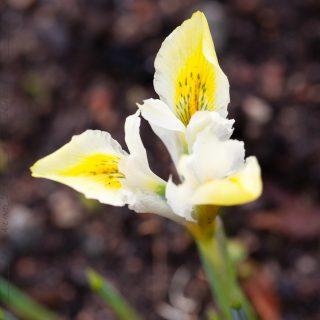 Nya vanor - Iris reticulata-grp 'North Star'