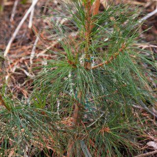Pinus wallichiana - himalaytall